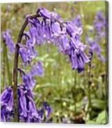 Bluebells (hyacinthoides Non-scripta) Canvas Print