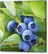 Blueberries Growing On A Shrub Canvas Print