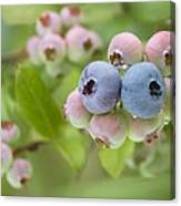 Blueberries (vaccinium Sp.) Canvas Print