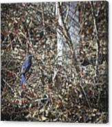 Bluebird In Barberries Squared Canvas Print