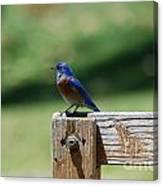 Bluebird On The Fence Canvas Print