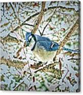 Bluejay In Birches Canvas Print