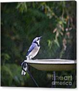 Bluejay In The Rain - Artist Cris Hayes Canvas Print