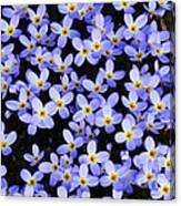 Bluets In Shade Canvas Print