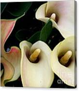 Blushing Calla Lilies Canvas Print