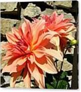 Blushing Peach Dahlias Canvas Print