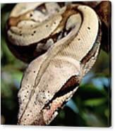 Boa Constrictor Boa Constrictor Canvas Print