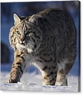Bob Cat In The Snow Canvas Print
