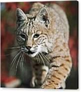 Bobcat Felis Rufus Canvas Print