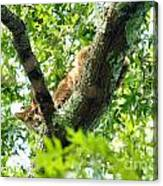 Bobcat In Tree Canvas Print