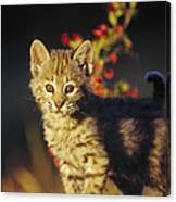 Bobcat Kitten Standing On Log North Canvas Print