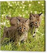Bobcat Kittens Canvas Print