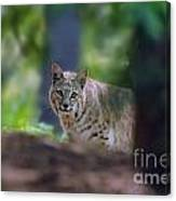 Bobcat Looking Canvas Print