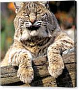 Bobcat Snoozes In The Sun Canvas Print