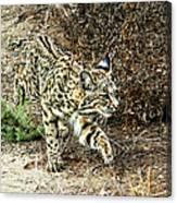 Bobcat Stalking Prey Canvas Print