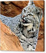 Bobcat With A Smile Canvas Print