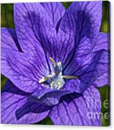 Bodacious Balloon Flower Canvas Print