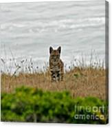 Bodega Bay Bobcat Canvas Print