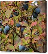 Bog Bilberry Canvas Print