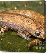 Bolitoglossine Salamander Canvas Print