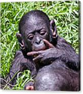 Bonobo 2 Canvas Print