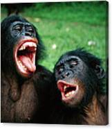 Bonobo Pan Paniscus Juvenile Pair Canvas Print