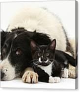 Border Collie And Tuxedo Kitten Canvas Print