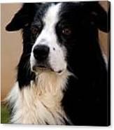 Border Collie Dog Canvas Print