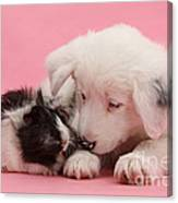 Border Collie Pup And Guinea Pig Canvas Print