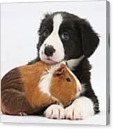 Border Collie Pup And Tricolor Guinea Canvas Print