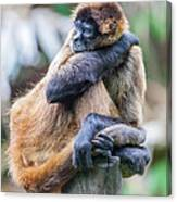 bored Spider Monkey Canvas Print