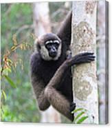 Bornean White-bearded Gibbon Canvas Print