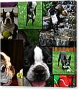 Boston Terrier Photo Collage Canvas Print