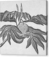 Botany: Breadfruit Tree Canvas Print