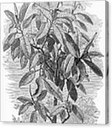 Botany: Ficus Elastica Canvas Print