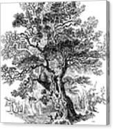Botany: Oak Tree Canvas Print