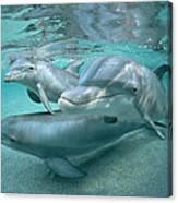 Bottlenose Dolphin Underwater Trio Canvas Print