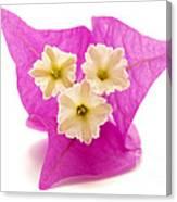 Bougainvillea Flower Canvas Print