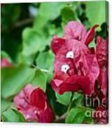 Bougainvillea San Diego Vibrant Red Flowers Closeup  Canvas Print
