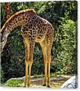 Bowing Giraffe Canvas Print