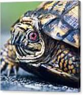 Box Turtle 1 Canvas Print