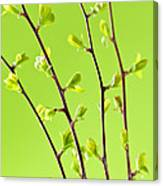 Branches With Green Spring Leaves Canvas Print