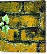 Brick Ivy Canvas Print