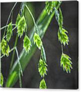 Bright Baby Leaves  Canvas Print