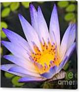 Bright Blue Water Lily Canvas Print