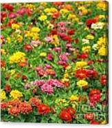 Brightly Colored Marigold Flowers Canvas Print