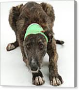 Brindle Lurcher Wearing A Bandage Canvas Print
