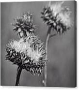 Bristle Thistle In Black And White Canvas Print