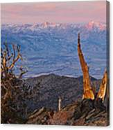 Bristlecone Bishop Sunrise Canvas Print
