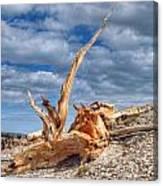 Bristlecone Pine In Repose Canvas Print